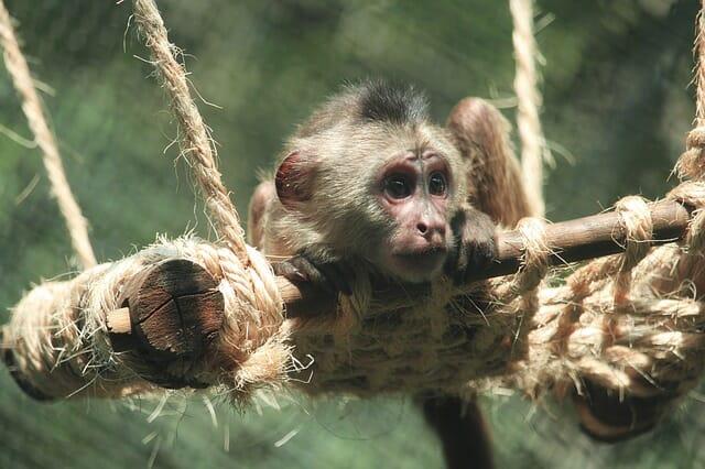 Mono del zoológico de chapultepec